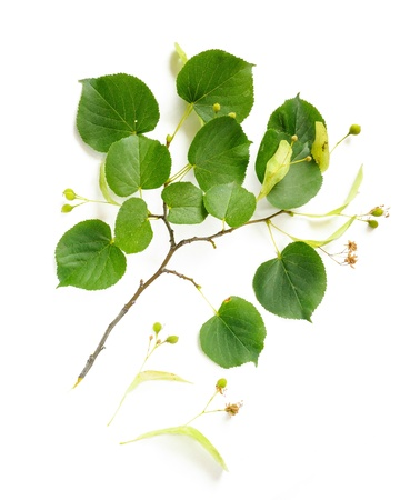 limetree: A Tilia (Lime-tree) branch with his fruits, flowers and green leaves, on white background