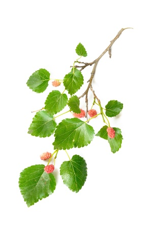 A Mulberry tree branch with green leaves and red fruits on white background