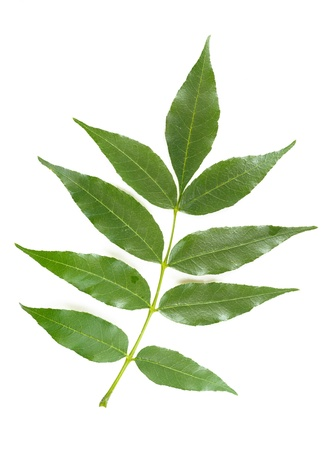 Groene Ash boom laat op witte achtergrond