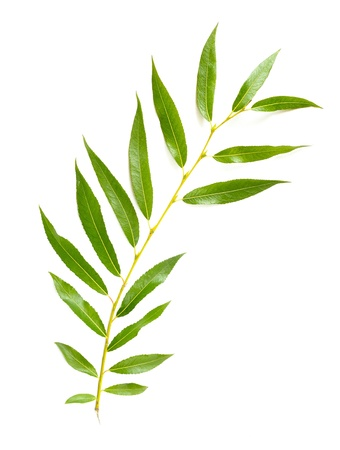 A tender green Weeping Willow leaf on white background Stock Photo