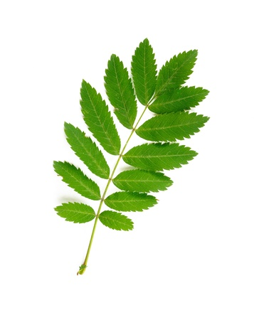 Green Rowan tree leaf on white background