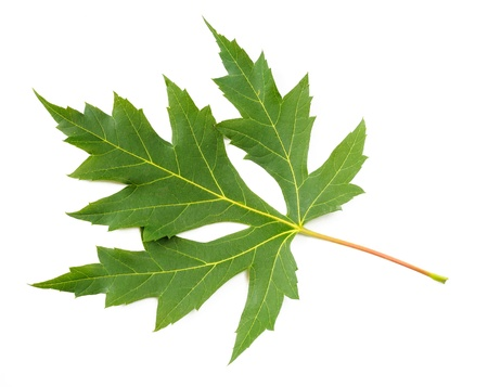A grean Maple tree leaf on white background Stock Photo