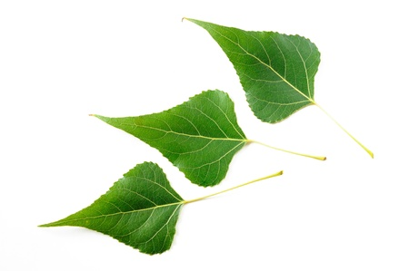 Green Black Poplar leaves on white background