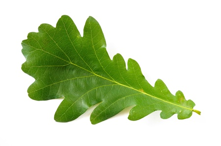A simple green Oak tree leaf on white background Stock Photo