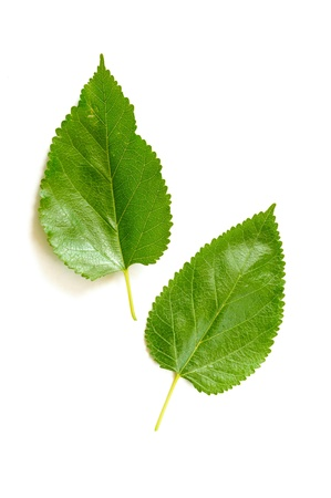 Two green Mulberry tree leaves on white background Stock Photo
