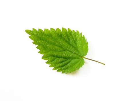 A stinging Nettle leaf on white background