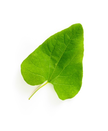 A young green Bindweed (convolvulaceae) leaf on white background