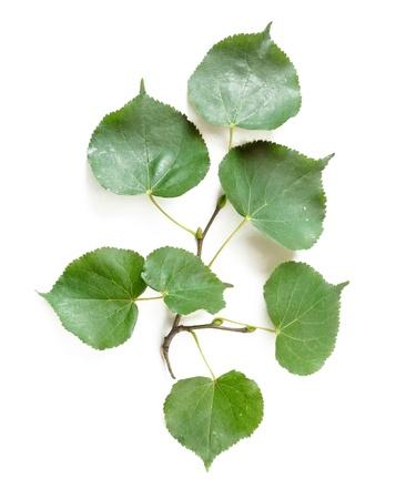 tilia: Some green Tilia leaves on white background