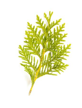 A green Thuja (cedar) leaf detail on white background 스톡 콘텐츠