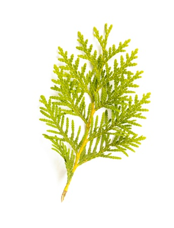 A green Thuja (cedar) leaf detail on white background
