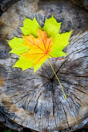 acer platanoides: Green and orange maple leaf on a cut trunk, in the forest in autumn Stock Photo