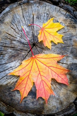 Red, orange and yellow maple leaf on a cut trunk, in the forest in autumn photo