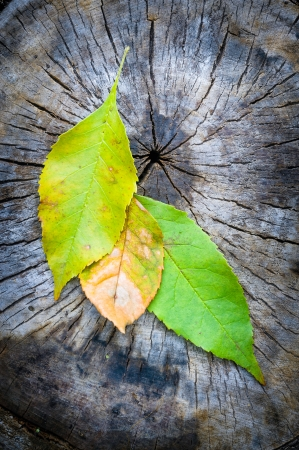 Green, orange and yellow maple leaf on a cut trunk, in the forest in autumn Stock Photo