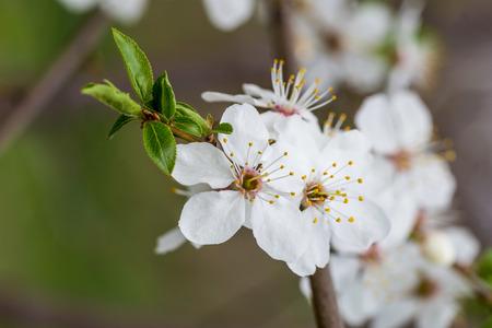 almond bud: Fruit tree flower under the warm spring sun