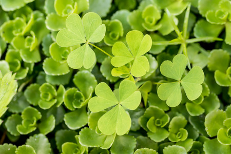core eudicots: Clover leaves in middle of succulent green stonecrop