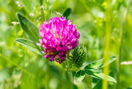 A violet clover flower in the middle of a green meadow, under a warm spring sun