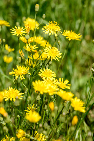 hawkweed: Closeup of hieracium humile in a meadow under the spring sun