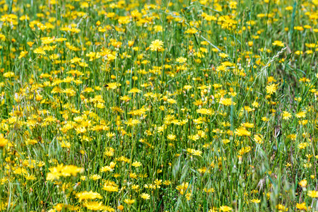 hieracium: Hieracium humile in a meadow under the spring sun