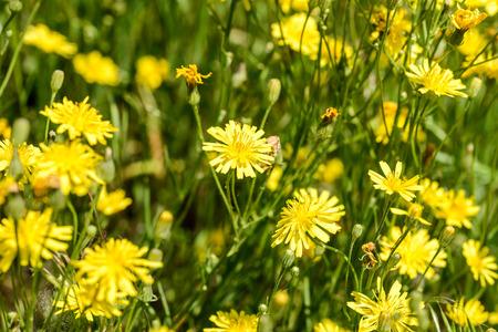 Close-up van hieracium humile in een weiland onder de lentezon Stockfoto
