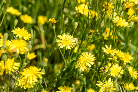 Closeup of hieracium humile in a meadow under the spring sun