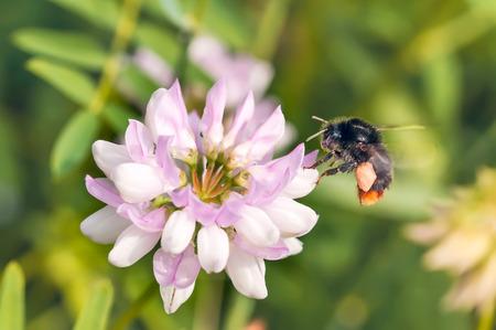 bombus: A wild bumblebee gathering pollen on a pink clover flower