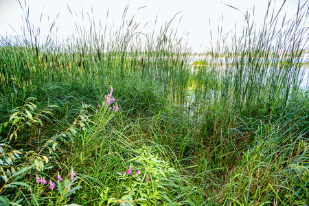 Reeds and pink flowers close to the river in summer