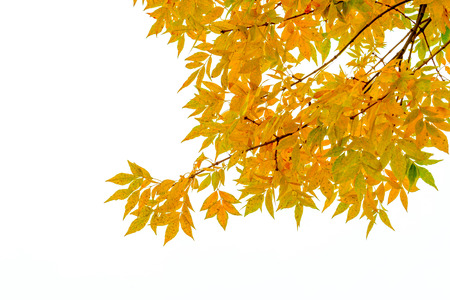 Ash tree branch with yellow leaves in autumn, isolated on white background