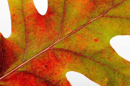 Macro of an Oak tree leaf with autumn colors