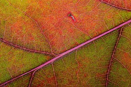 Macro of an Oak tree leaf with autumn colors photo