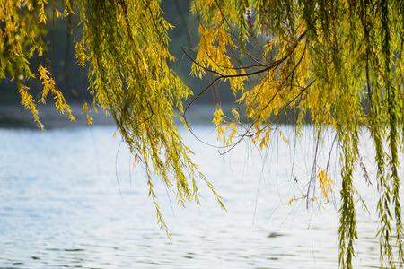 sauce: Llorando ramas de sauce cerca del lago en otoño se mueven por el viento