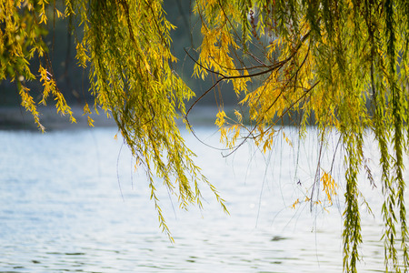 willow tree: Weeping willow branches close to the lake in autumn are moved by the wind