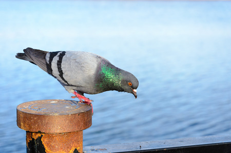 inquiring: A gray inquisitive pigeon stay perched close to the water, watching something and ready to fly away Stock Photo