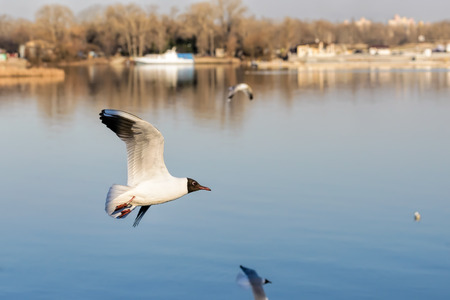chroicocephalus: A black-headed seagull, Chroicocephalus ridibundus, with a ring and matriculation number is flying over the blue waters of the Dnieper river in Kiev the capitol of Ukraine Stock Photo