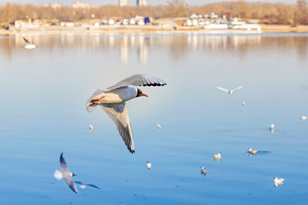 A black-headed seagull, Chroicocephalus ridibundus, with a ring and matriculation number is flying over the blue waters of the Dnieper river in Kiev the capitol of Ukraine Stock Photo