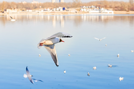 wingtips: A black-headed seagull, Chroicocephalus ridibundus, with a ring and matriculation number is flying over the blue waters of the Dnieper river in Kiev the capitol of Ukraine Stock Photo