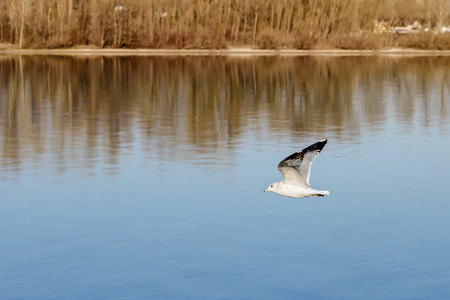 A seagull is flying over the blue waters of the Dnieper river in Kiev the capitol of Ukraine