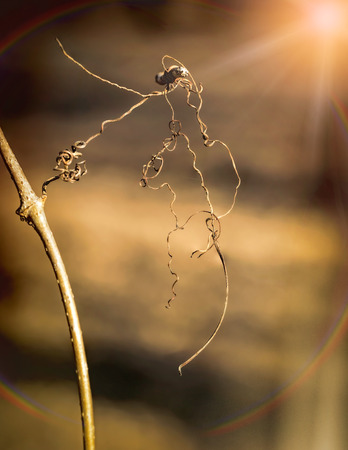 strong light: Macro of dry tendrils illuminated by the strong light of the winter sun, with a rainbow effect Stock Photo