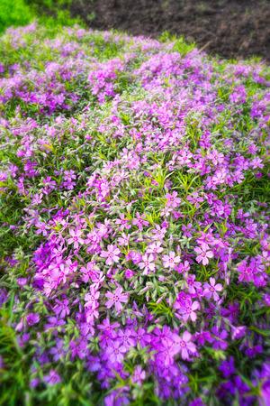 core eudicots: Nice pink Gypsophila under a morning spring sun