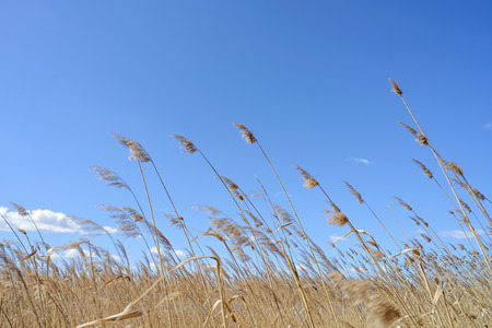 High reeds close to the lake are moved by the wind with a blue sky and clouds background photo
