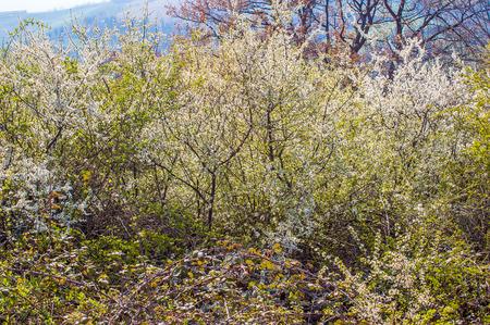 crata�gus: Un arbusto de espino blanco, Crataegus monogyna, en flor, en el pa�s italiano