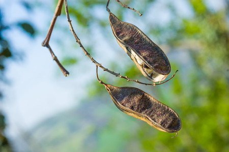 pods: Two dry acacia pods with seeds inside Stock Photo