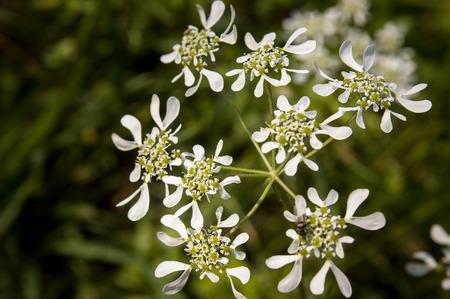 botanica: Closeup of an Orlaya Grandiflora from the Apiaceae family