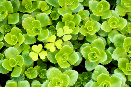 core eudicots: A succulent plant named Stonecrop or Crassula Stock Photo