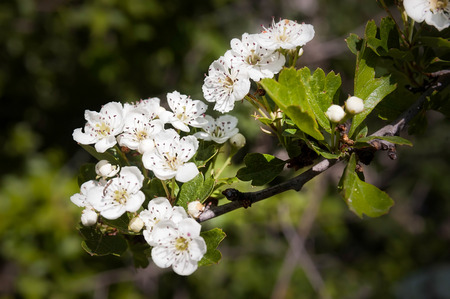 A branch of white Hawthorn Flowers under the warm italian sun