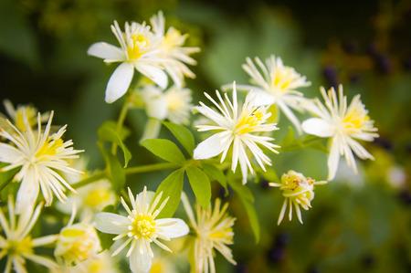 Close up of Old Man's Beard or Clematis Vitalba flowers under the warm italian sun 스톡 콘텐츠
