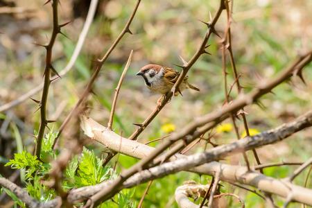 thorn bush: A sparrow hidden in a thorn bush Stock Photo