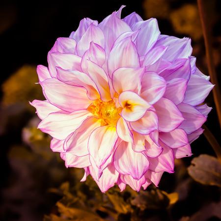 A very nice light pink Dahlia photo