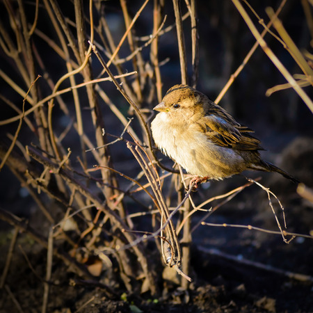 passer by: A female House Sparrow (Passer domesticus) under the yellow winter morning light Stock Photo
