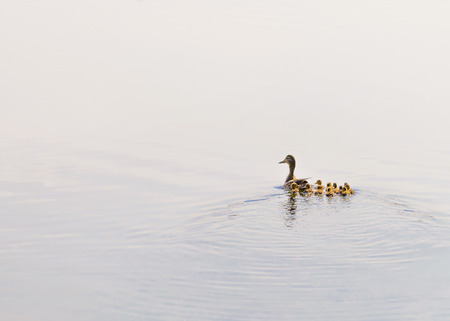 An adult female duck is swimming on the Dnieper river followed by her duckling family Stock Photo