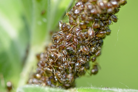 Ants are breeding aphids on a green plant